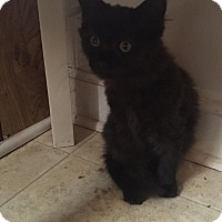 Himalayan Kitten for adoption in Vass, North Carolina - CoCo Puff