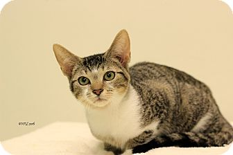 Domestic Shorthair Kitten for adoption in Flushing, Michigan - Job