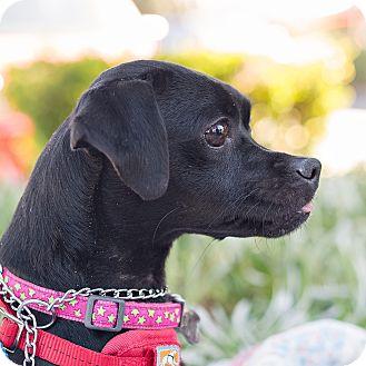 Terrier (Unknown Type, Medium)/Dachshund Mix Dog for adoption in Oakley, California - Millie