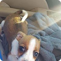 Adopt A Pet :: Pokie - Weatherford, TX