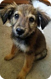 Australian Shepherd/Collie Mix Puppy for adoption in Denver, Colorado - Phoenix