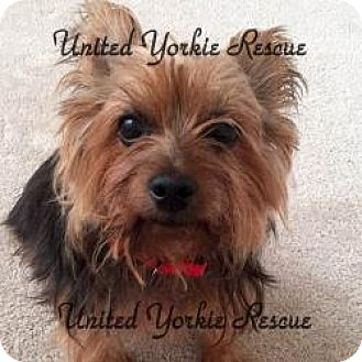 Yorkie, Yorkshire Terrier Dog for adoption in Austin, Texas - Mercedes