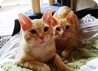 Domestic Shorthair Cat for adoption in Orange, California - Timmy & Tommy