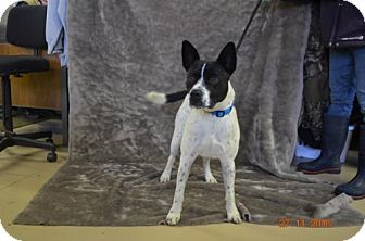 Australian Cattle Dog Mix Dog for adoption in Yreka, California - Porter