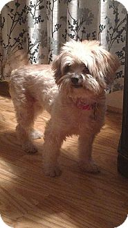 Shih Tzu/Terrier (Unknown Type, Medium) Mix Dog for adoption in Coldwater, Michigan - Viva (pending)