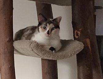 Siamese Cat for adoption in Pinckney, Michigan - Mariam