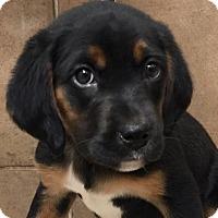 Adopt A Pet :: I'M ADOPTED Valentino LaDue - Oswego, IL