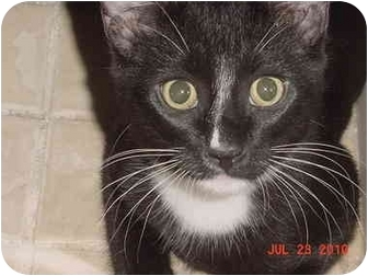 Domestic Shorthair Kitten for adoption in Inverness, Florida - Digger