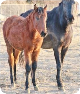 Quarterhorse for adoption in Blackfoot, Idaho - Snickers