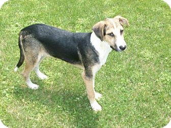 Treeing Walker Coonhound/German Shepherd Dog Mix Dog for Sale in
