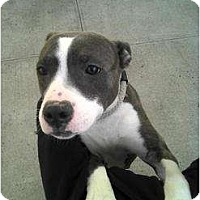 Adopt A Pet :: Ashanti - Long Beach, NY
