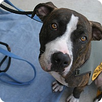 Adopt A Pet :: Brando (Courtesy Listing) - La Habra, CA