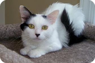 Domestic Longhair Cat for adoption in New York, New York - Angel