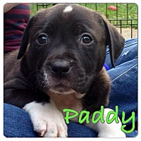 Adopt A Pet :: Paddy - Baton Rouge, LA