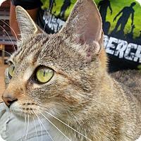 Abyssinian Cat for adoption in Burlington, Ontario - Mumma