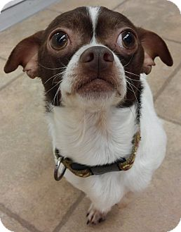 Chihuahua Mix Dog for adoption in Cloquet, Minnesota - Rumble