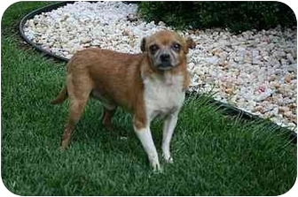 Chihuahua Dog for adoption in Chesapeake, Virginia - Tigger