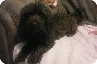 Poodle (Miniature)/Shih Tzu Mix Dog for adoption in Inverness, Florida - Teddy
