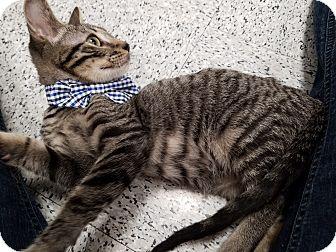 Domestic Shorthair Cat for adoption in Pasadena, California - Miso