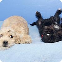 Shih Tzu Mix Puppy for adoption in Van Nuys, California - Onyx