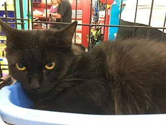 Domestic Longhair Cat for adoption in Sterling Heights, Michigan - Star