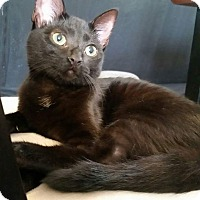 Domestic Shorthair Kitten for adoption in Columbus, Ohio - Leia