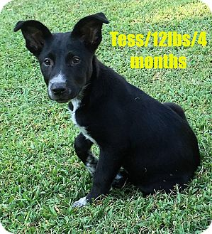 Border Collie Mix Puppy for adoption in North Brunswick, New Jersey - Tess