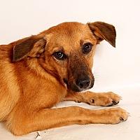 Adopt A Pet :: Alexa SheltieHeeler - St. Louis, MO