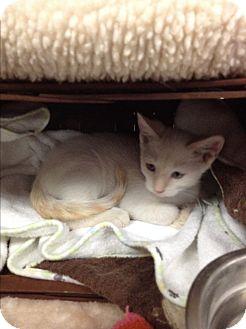 Siamese Kitten for adoption in Tehachapi, California - Leling