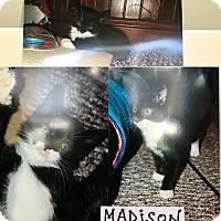 Domestic Shorthair Kitten for adoption in Island Park, New York - Madison
