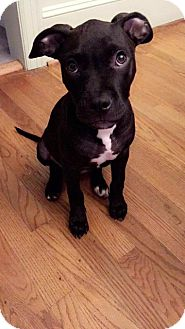 Terrier (Unknown Type, Small)/Labrador Retriever Mix Puppy for adoption in Raleigh, North Carolina - Shade