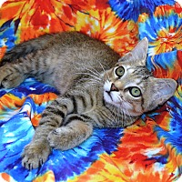 Adopt A Pet :: Taylor-DECLAWED 4 MONTH KITTEN - Taylor Mill, KY