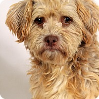 Adopt A Pet :: Buster Brown Havanese - St. Louis, MO