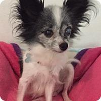 Papillon Mix Dog for adoption in Alpharetta, Georgia - MaggieJune