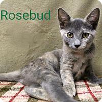 Adopt A Pet :: Rosebud - Newport, KY