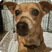 Adopt A Pet :: Zoey - Fullerton, CA