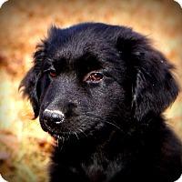Australian Shepherd/Labrador Retriever Mix Puppy for adoption in Glastonbury, Connecticut - Diva