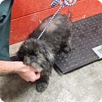 Shih Tzu Mix Dog for adoption in Pikeville, Kentucky - Ebony