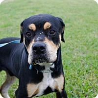 Adopt A Pet :: Copper - Dickinson, TX