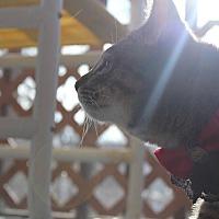 Adopt A Pet :: Patch Adams - Winchester, VA