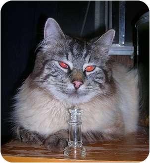 Siamese Cats In Washington For Adoption