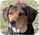 Beagle Mix Dog for adoption in Overland Park, Kansas - Bobby