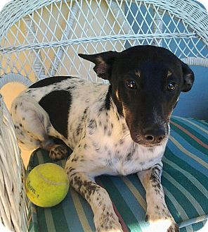 Rat Terrier Mix Dog for adoption in Jacksonville, Florida - Jill