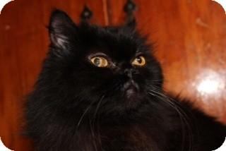 Persian Cat for adoption in Santa Monica, California - Ellie