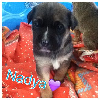 Labrador Retriever/German Shepherd Dog Mix Puppy for adoption in Torrance, California - NADYA