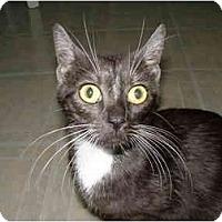 Adopt A Pet :: Phoebe - St. Louis, MO
