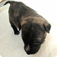 Adopt A Pet :: Liberty's Clyde - Copperas Cove, TX