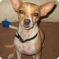 Adopt A Pet :: Andy - Glendale, AZ