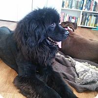 Adopt A Pet :: Hershey Bear and Chocolatier - Lee's Summit, MO