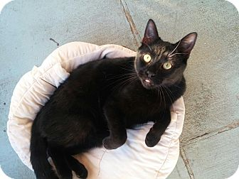 Domestic Shorthair Cat for adoption in Calimesa, California - O'Henry